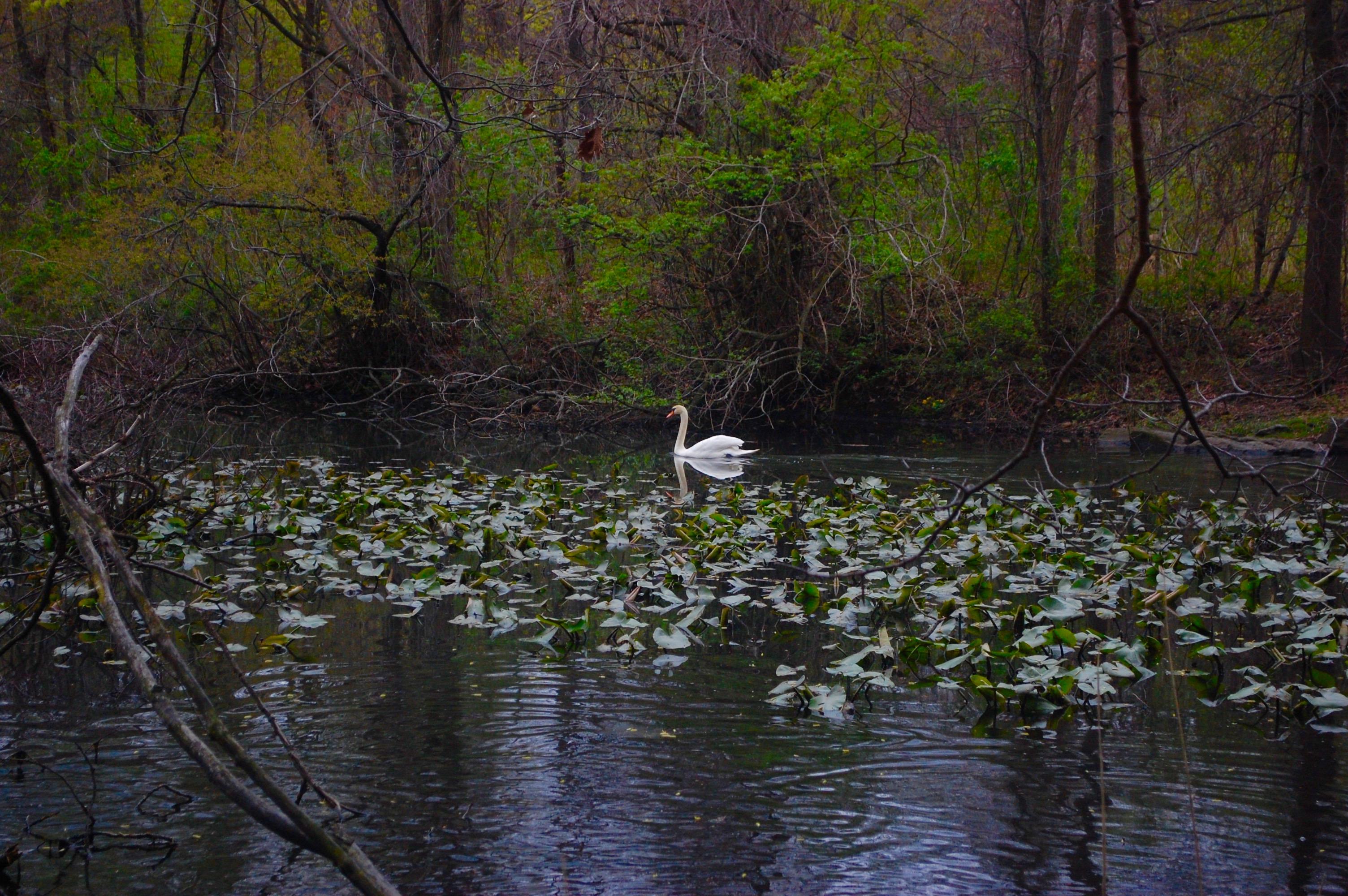 Van Cortlandt Park Swan